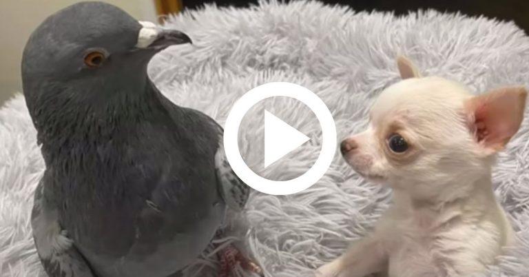 Meglepő barátság egy apró beteg kutyus és egy sérült galamb között, elválaszthatatlanok lettek