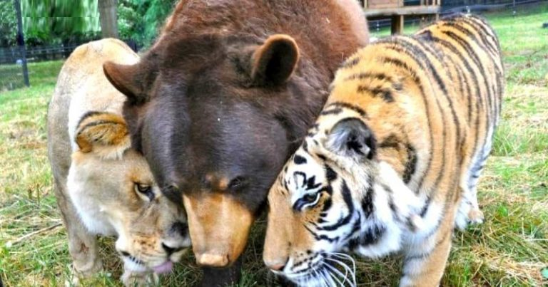 Az oroszlán, a tigris és a medve, ők hárman a legjobb barátok, immáron 15 éve; tragikus történetük az egész világot bejárta!